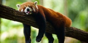 Oso panda rojo - Bután