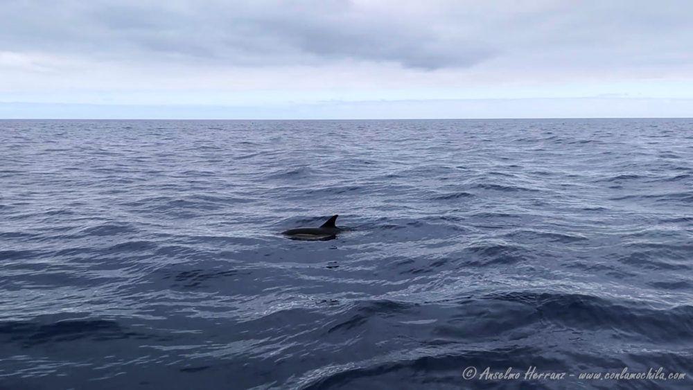 Delfines en Madeira - Portugal