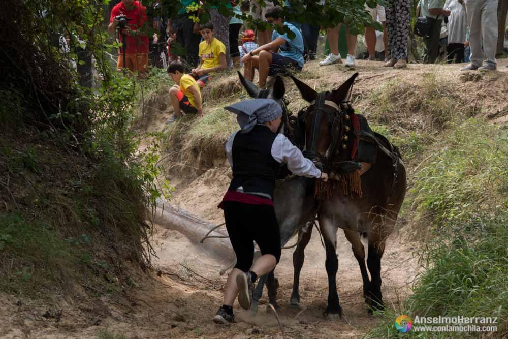 Mulas Sacando Troncos del río - Gancheros del Alto Tajo