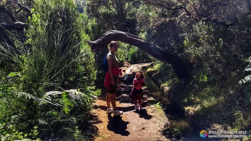 Arbol Tumbado en la senda de la Levada 25 fontes - Madeira