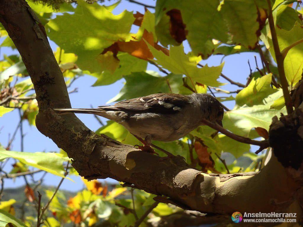 ¿Pinzón vulgar? - Una de las aves que se aprovecha de la presencia humana en la Vereda dos Valcões
