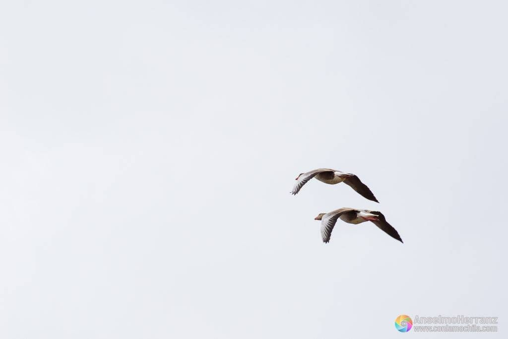 Pareja de gansos volando sobre las Tablas de Daimiel - Ciudad Real