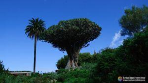 Drago Milenario - Icod de los Vinos - Tenerife