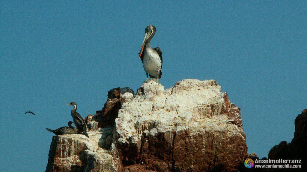 Pelícano y cormoranes - Islas Ballestas - Ica - Perú