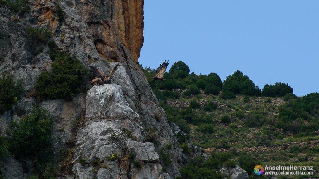 Buitre alzando el vuelo - Mirador del Buitre - Via verde del Cidacos - Arnedillo - La rioja