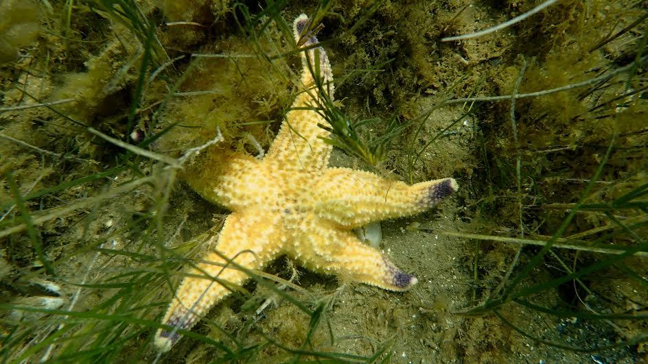The Northern Pacific seastar. Photo: Evatt Chirgwin
