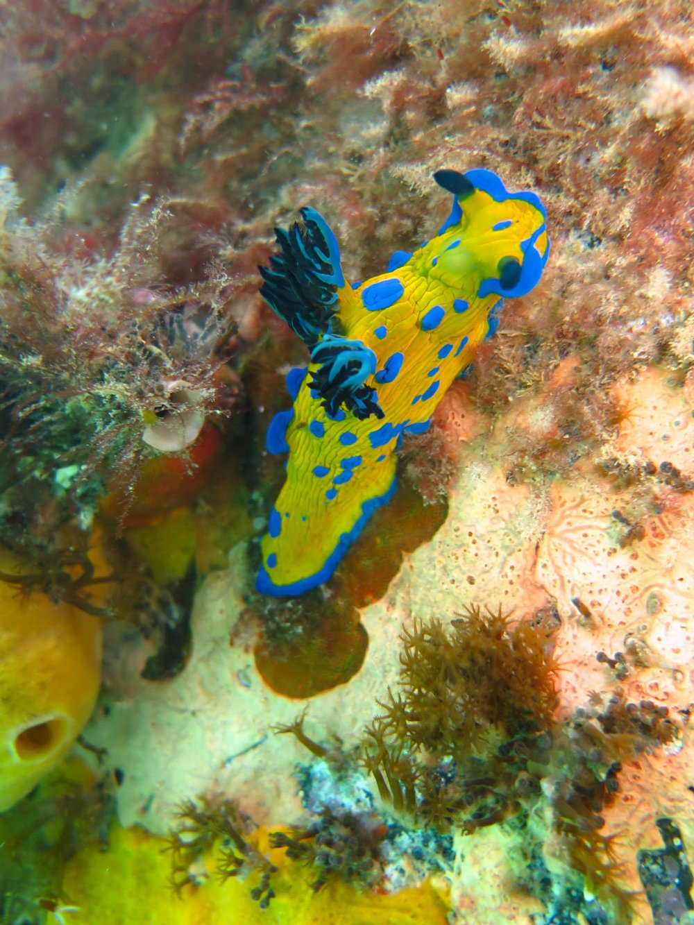 Verco's nudibranch.  Image: Cathy Cavallo