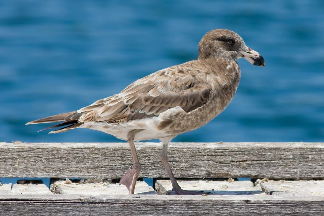 Juvenile_pacific_gull