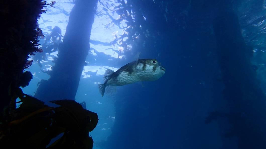 globefish Portsea Port Phillip snorkel