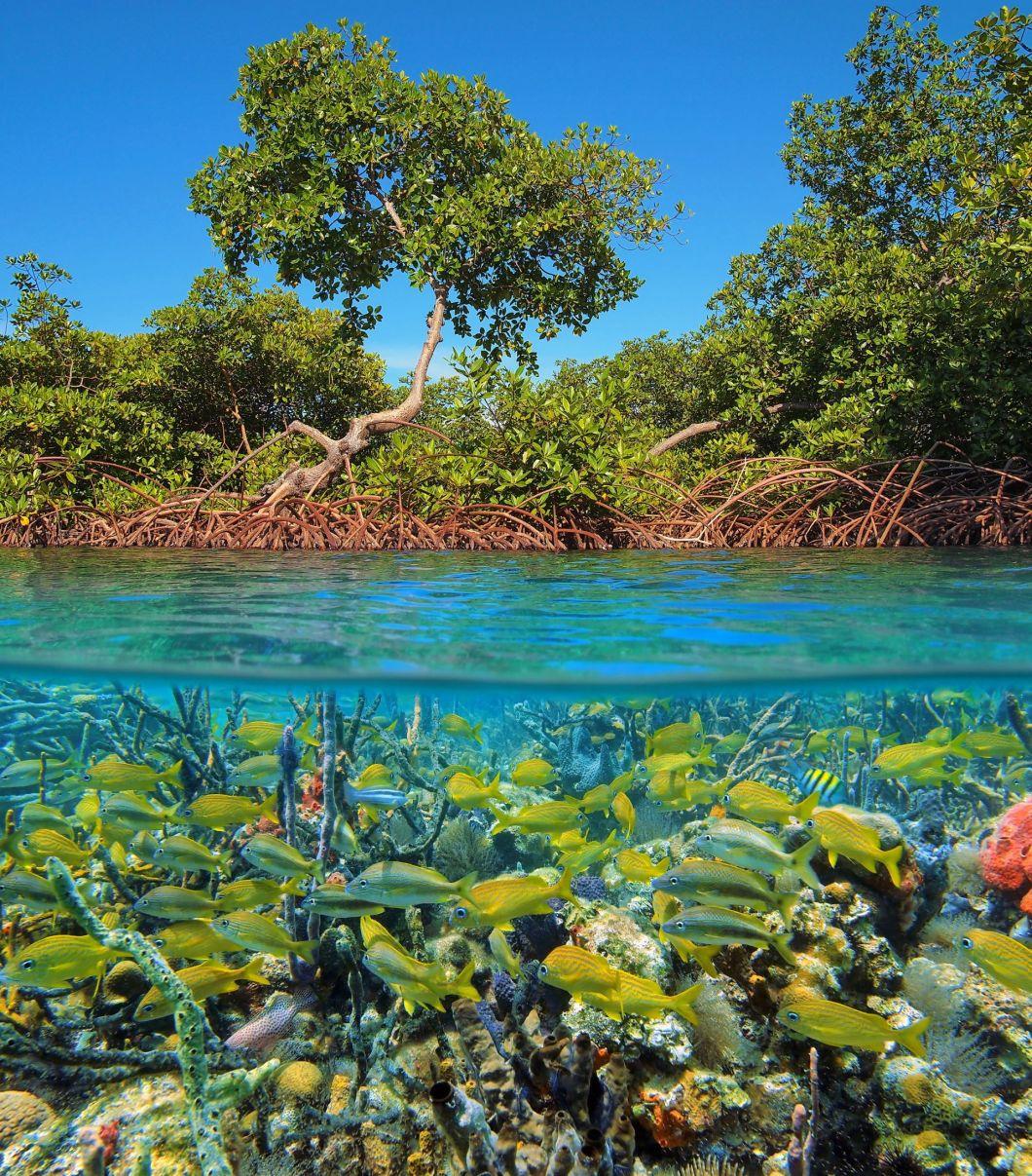 Bluecarbon-mangrove-shutterstock_786255073-1920-80