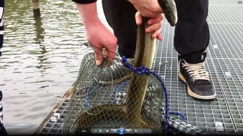 Aal-Release in den Niederlanden