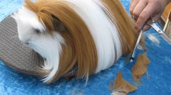 http://mashable.com/2015/01/06/guinea-pig-gets-haircut/