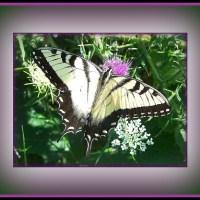 Flutterby, Butterfly.