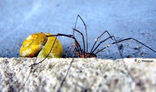 Spindeln och vinbärssnäcka