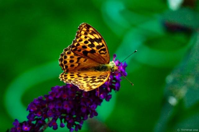 Småkryp fjäril Pärlemofjäril