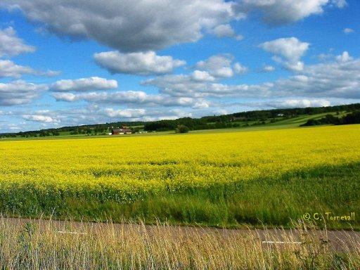 Denna Åkersenap sädesfält rapsfält i Åstorp BRA
