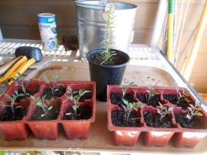 Tomato Seedlings and Rosemary Cutting