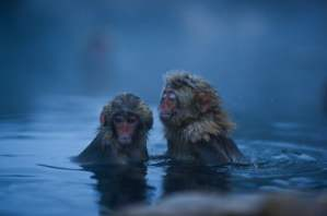 Macacos japoneses bañándose en un agua termal