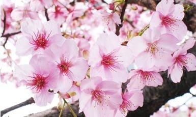 d4b8e0fb44 Sakura  Significado de las flores de cerezo - Conoce Japón