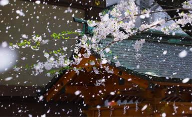 Sakurafubuki - palabras intraducibles del japonés