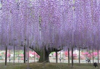 glicinia japonesa