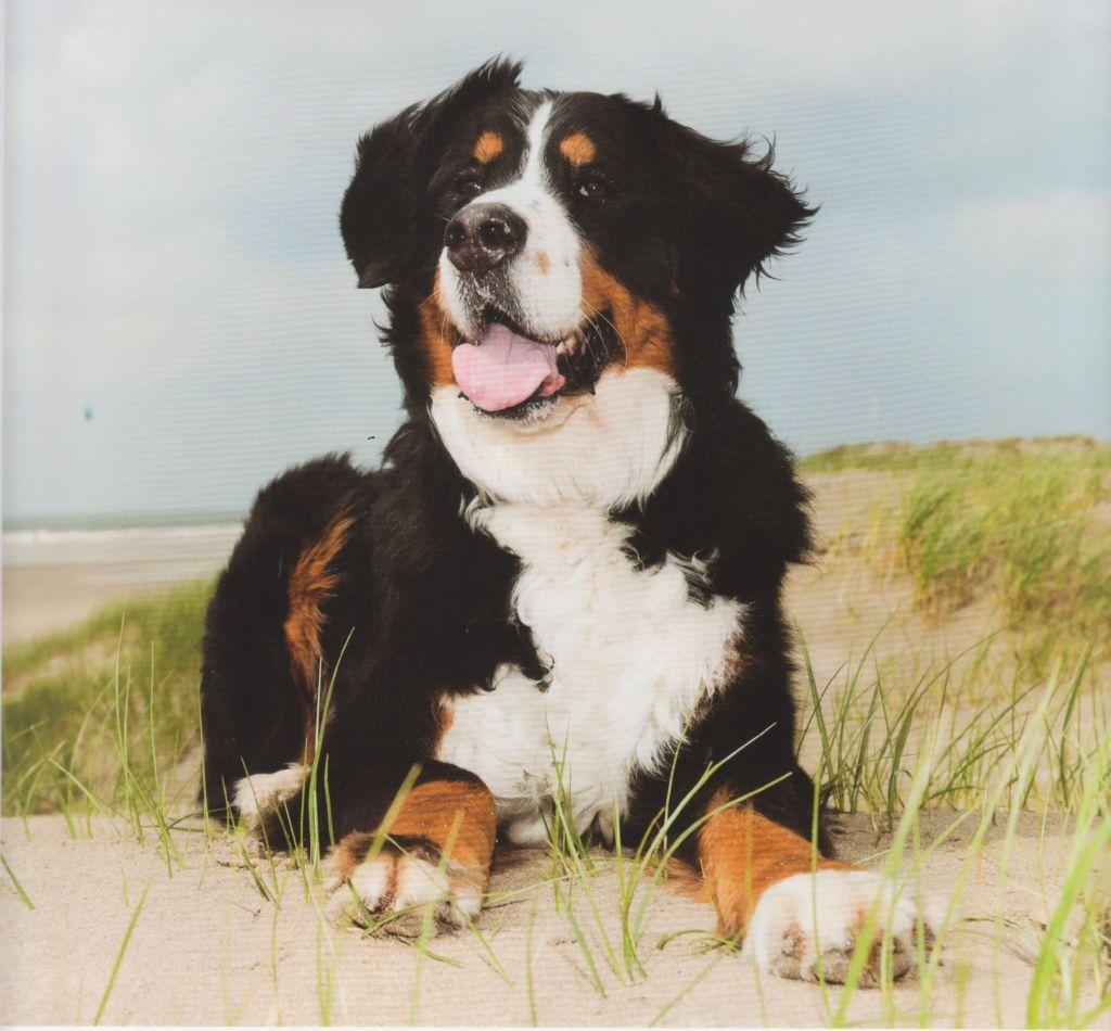 Boyero de Berna en la dunas con la playa al fondo
