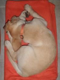 Riggs sleeps like a pretzel!