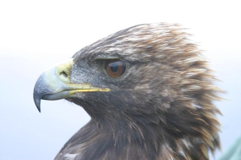 Eastern Golden Eagle_M-A4Y_Miller's Field_710_1094