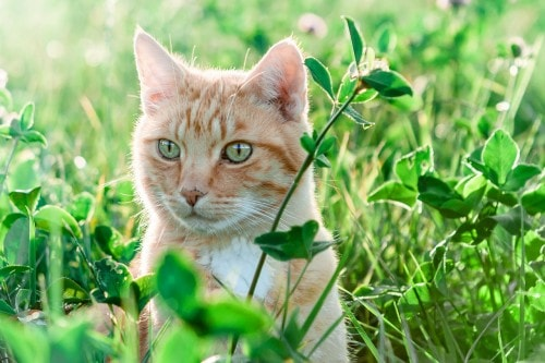 cat-clover-grass