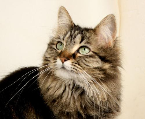 Maine Coon Cat Rescue Austin Tx