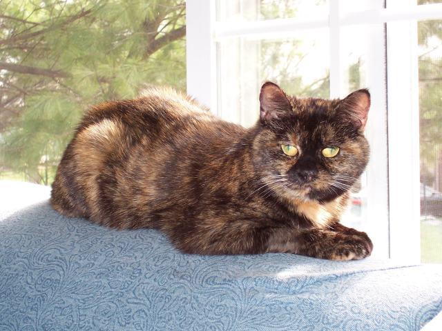 tortitude-tortoiseshell-cat-personality