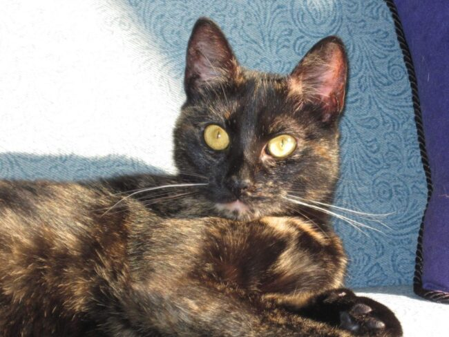 tortoiseshell-cat-ruby-conscious-cat