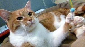 Daniel-polydactyl-cat-Milwaukee