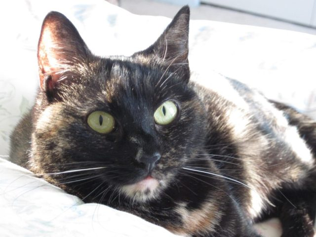 Ruby-tortoiseshell-cat-face