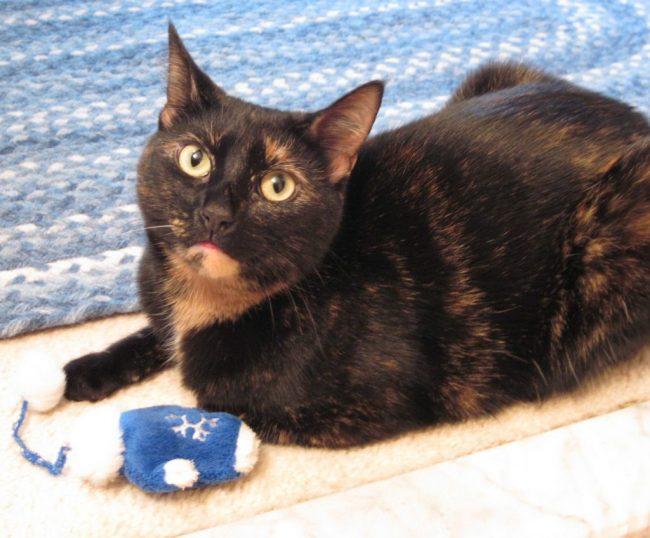tortoiseshell cat with catnip toy