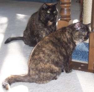 tortoiseshell-cats-talking