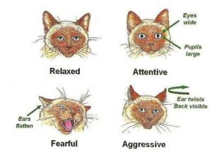 feline body language ears