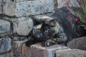 Pixie_tortoiseshell_cat