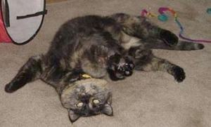 tortoiseshell_cat_playing_belly_rub