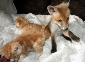 fox_with_kittens