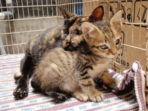 Tortie_grooming_kitten
