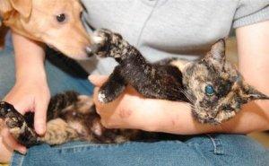 Whiskers_tortoiseshell_cat
