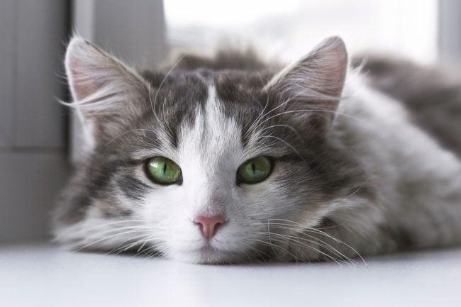 cat-immune-system