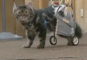 Flipper_cat_with_wheelchair