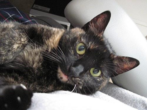 feline_office_assistant_office_cat