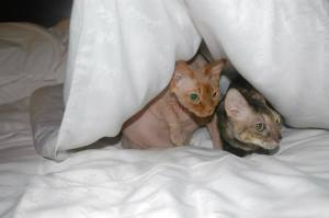 Sphynx_Cornish_Rex_cats