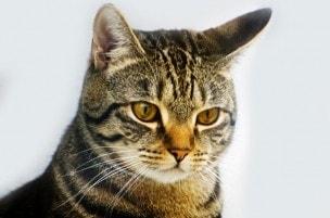 megacolon_in_cats