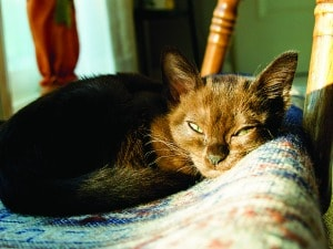 Burmese_kitten