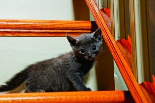 Russian Blue kitten.
