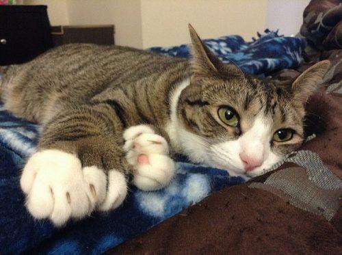 polydactyl-cat